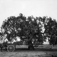 Vella olivera anomenada de la Juana, situat en el terme de Casinos.- ca. 1917.