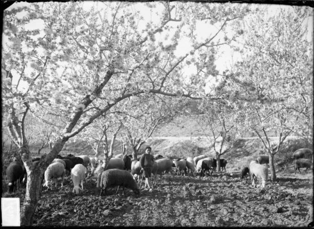 CARLOS SARTHOU CARRERES. Pastor con rebaño de ovejas en un campo de almendros. ca 1922. ES.462508.ADPV/Colección Sarthou, imagen nº 00129